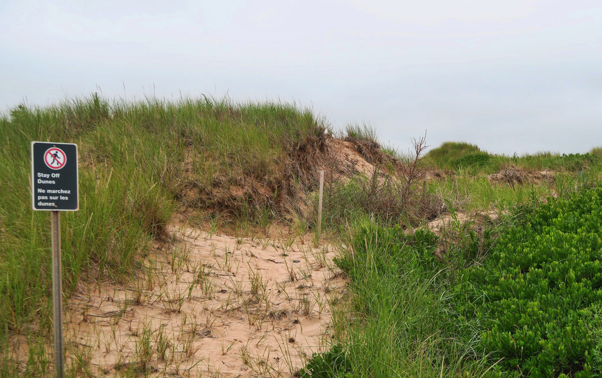 PEI has a project underway with volunteers from the local High School to protect the eroding dunes. They use recycled Christmas trees to trap the shifting sands and discourage climbing on the dunes.