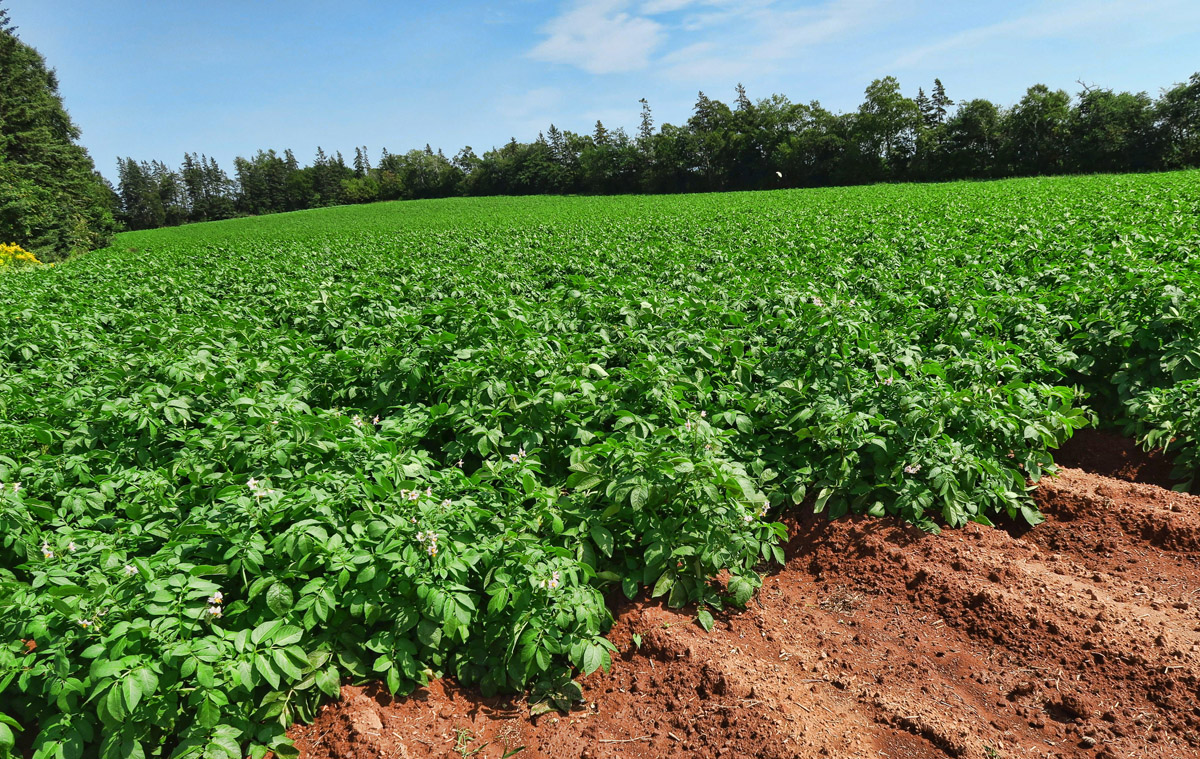 Potato fields dominate the scenery, as PEI produces 25% of Canada's potatoes.