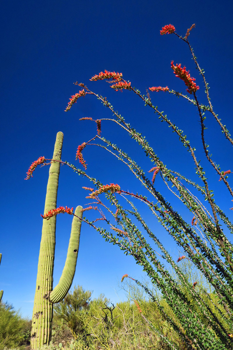 Blooming ocotillo in my back yard...
