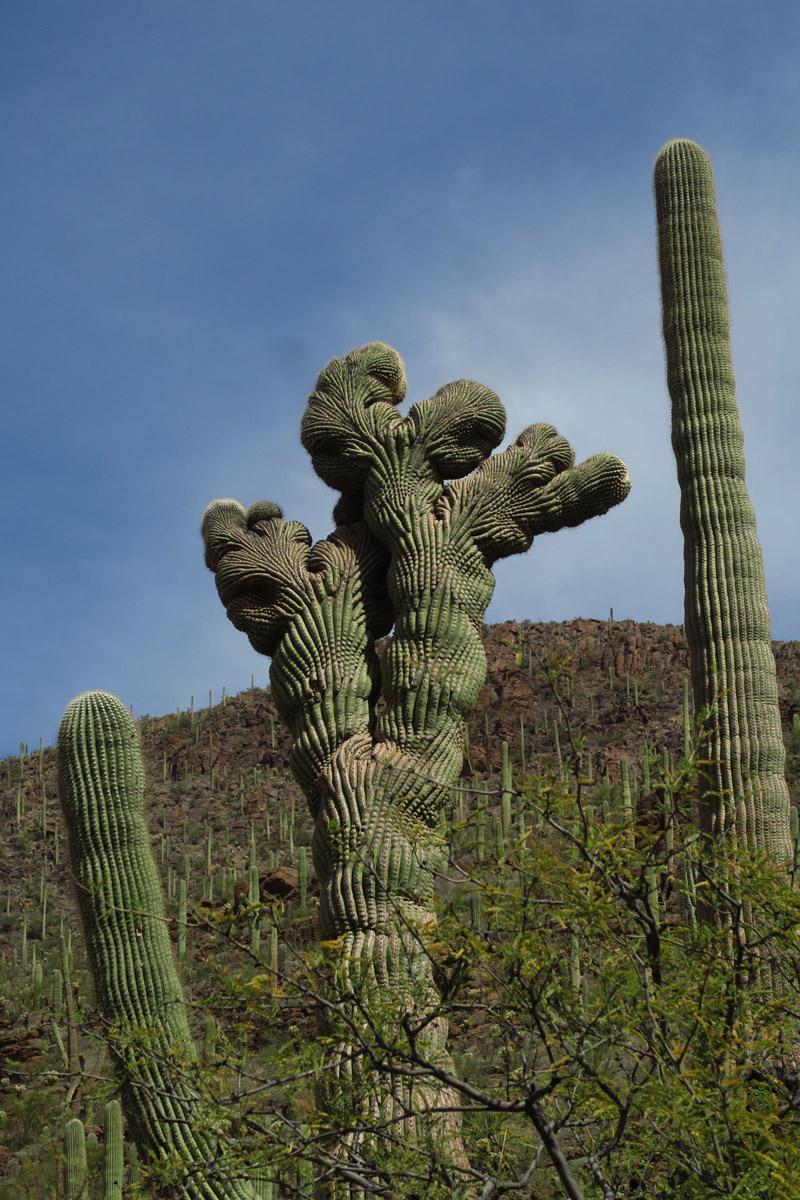 "I recently downloaded the ""Hiking Project"" app. I like it because it often will have a ""gem"" noted along the trail, like this crested saguaro."