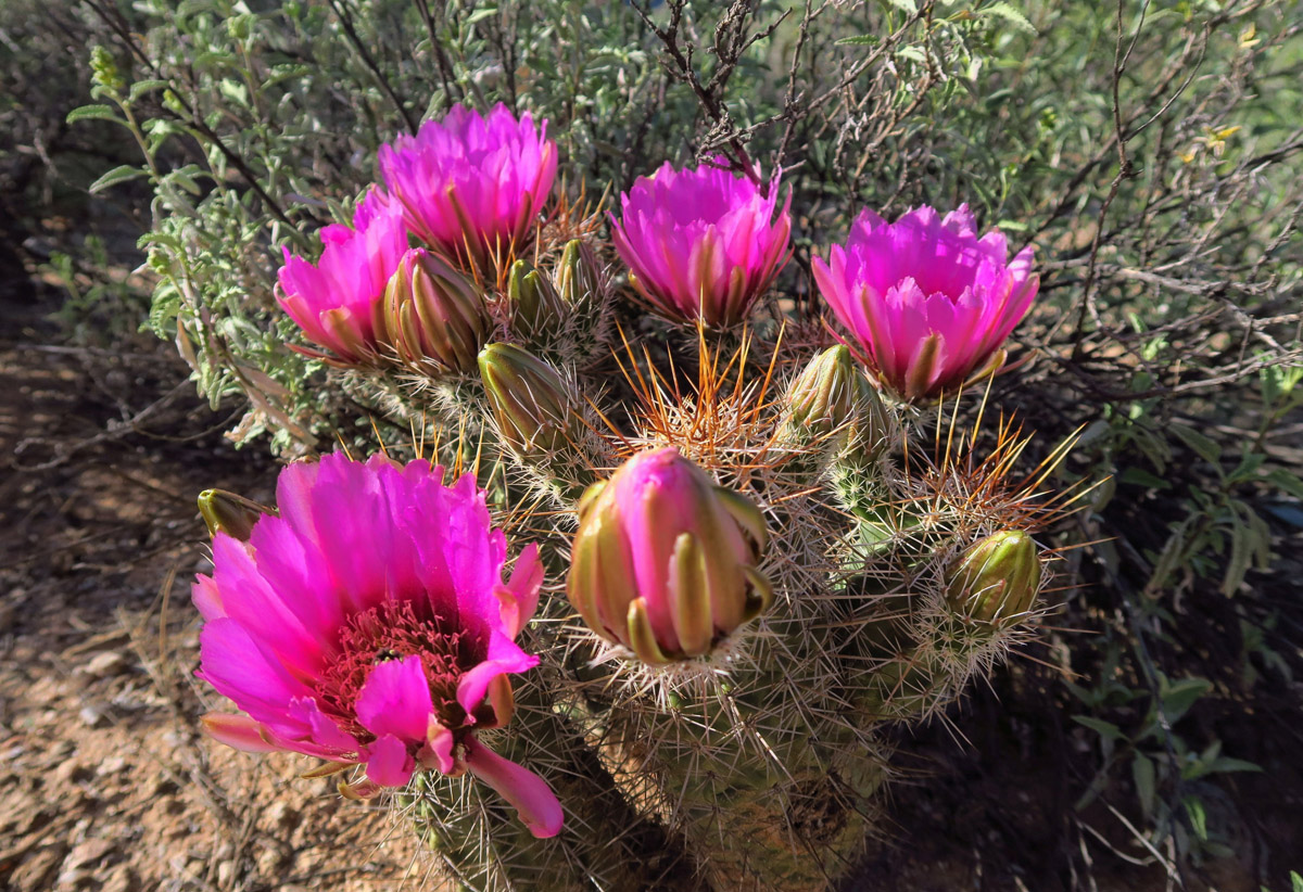 I never get tired of studying nature's work of art at the end of a hedgehog cactus.